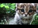 Самая маленькая Африканская Кошечка