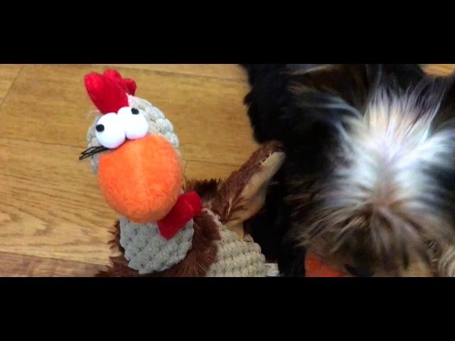 Щастье против Глупой Курицы