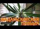 Мадагаскарская пальма Пахиподиум ламера