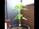 Cannabis time lapse 🌱