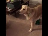 Собака встречает живую копию любимой игрушки