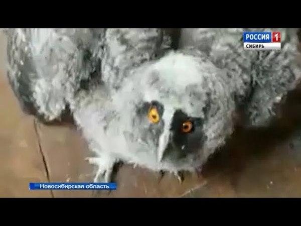 Новосибирские орнитологи готовят к выпуску в дикую природу слётка совы