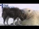 Белые медведи и собаки странная дружба