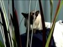 Сиамская кошка описание породы--siam--tailand--spyun--scscscrp