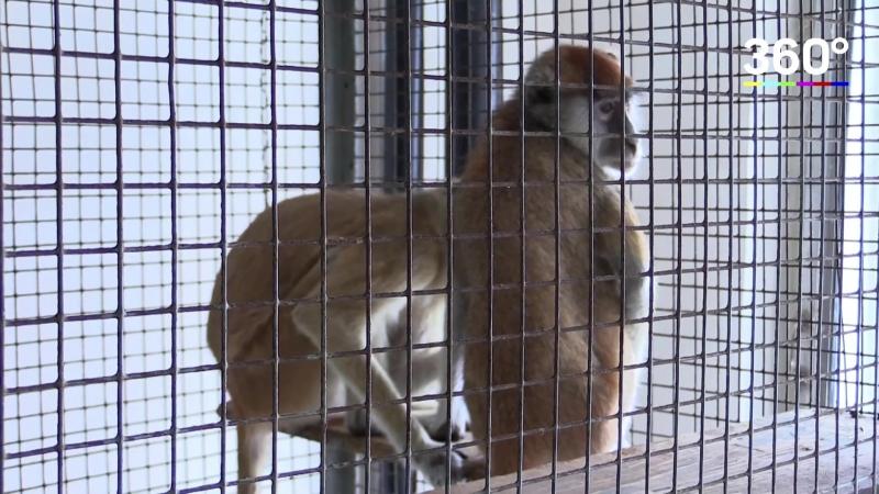 Мартышки-нелегалы поселились в Ростовском зоопарке