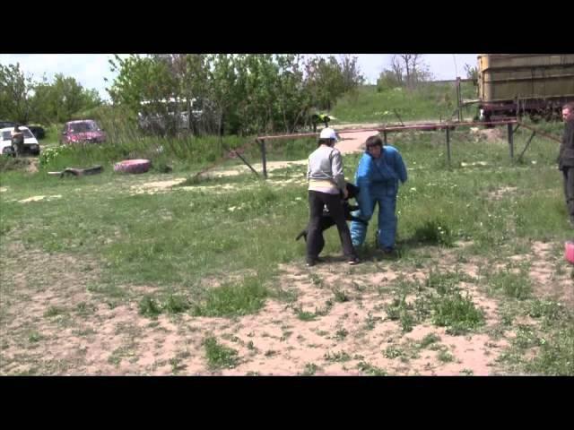 Кане корсо Аришка работает на площадке 12 мес