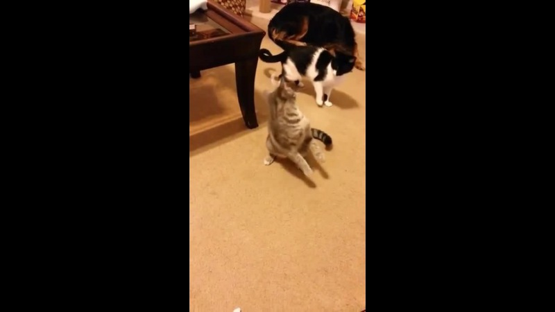 Cat push the tempo · coub, коуб