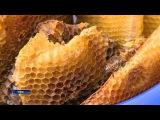 Пасечники собрали первый урожай с бортей для сбора дикого меда, установленных в ...