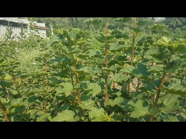 Выращивание чёрной и красной смородины. Борьба с мучнистой росой.