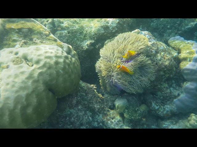 Мальдивская рыба клоун (Amphiprion nigripes) -2