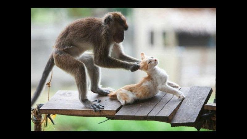 Khỉ hài hước Trêu Chó Mèo Xem Cả ngàn lần Đau cả dái ➜ Con khỉ Mất dạy Monkey vs Kitten