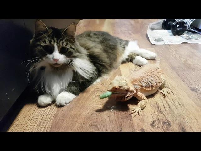 Дракон штурмует котика. Бородатая агама гоняется за гусеницами через полосатое ...
