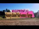 Мандариновый сад в США Собери урожай сам Сатсумы