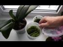 Срезанный цветонос орхидеи растит детку Размножение фаленопсиса