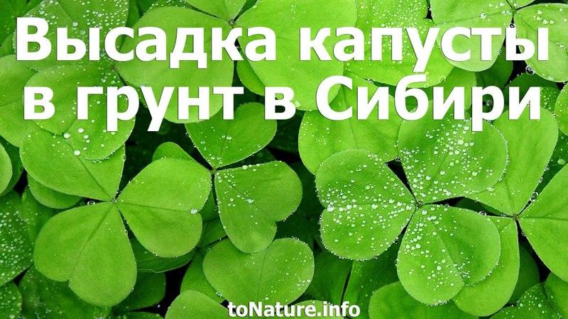 Высадка капусты в грунт в Сибири