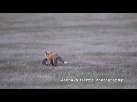 Схватка орлана и лисы за добычу Fox Kit and Eagle