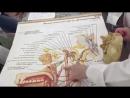 Лицевой, языкоглоточный и тройничный нерв. Анатомия.