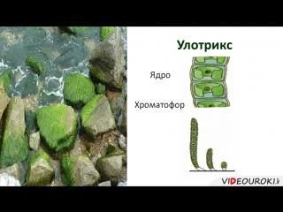 11. Водоросли. Многообразие и значение водорослей