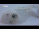 «Суперхищники Полярный медведь» Документальный, природа, животные, 2010