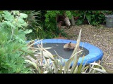 Four baby foxes playing on trampoline