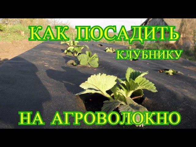 Посадка клубники весной на агроволокно Выпуск 19