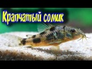 Крапчатый сомик Разведение содержание размножение Corydoras paleatus