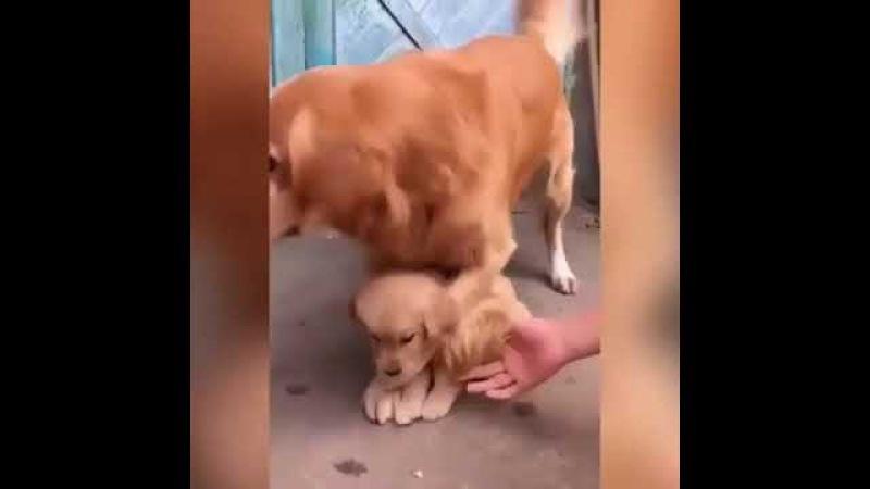Собака мать не отдаёт щенка советую посмотреть