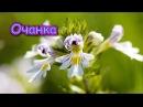Это растение для лечения ГЛАЗ, АЛЛЕРГИИ, КОЖИ, улучшения ПАМЯТИ...