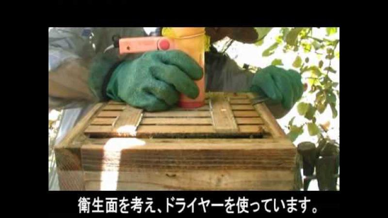 日本蜜蜂の採蜜 完全版 Part1