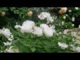 Кременчуг. Сад роз в центре города. Часть I