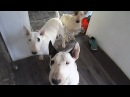Are Bull Terriers DANGEROUS Dogs? WATCH this to Find Out