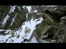 Ирбис Снежный барс Снежный леопард Животные №78