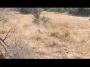 Охота леопарда на импалу Leopard Hunt - Kruger National Park