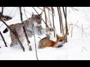 Vaşağın tülkü ovu/ Vaşağın tilki avı/ Lynx hunts a fox
