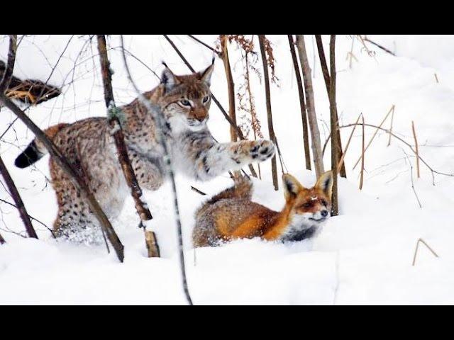 Vaşağın tülkü ovu Vaşağın tilki avı Lynx hunts a fox