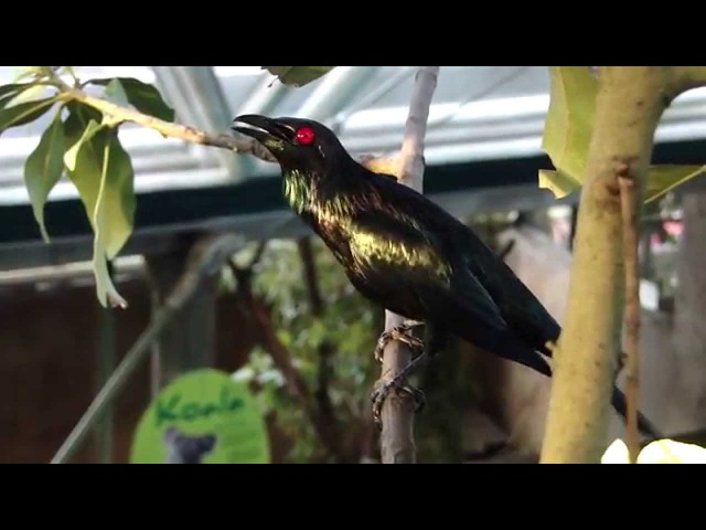 Asian glossy starling / Малайский аплонис / Aplonis panayensis