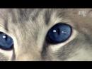 бенгальская кошка шартрез балийская сноушу домашняя турецкий poroda koshek scscscrp