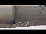 Не для слабонервных. Ястреб потрошит голубя на глазах у людей в самом центре Минска.
