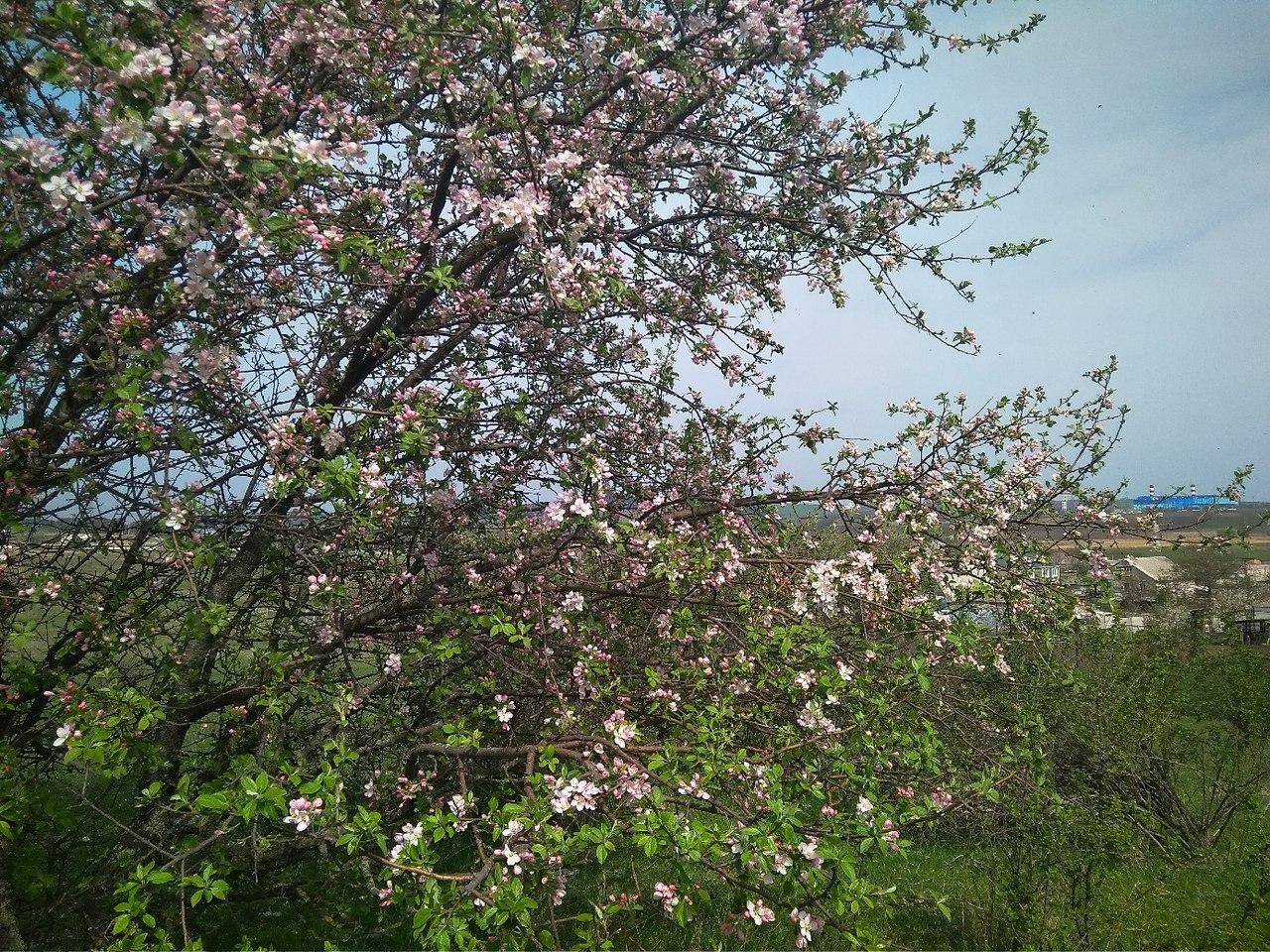 цветет дикая яблоня в долине Малого Салгира, к югу от Симферополя, Крым
