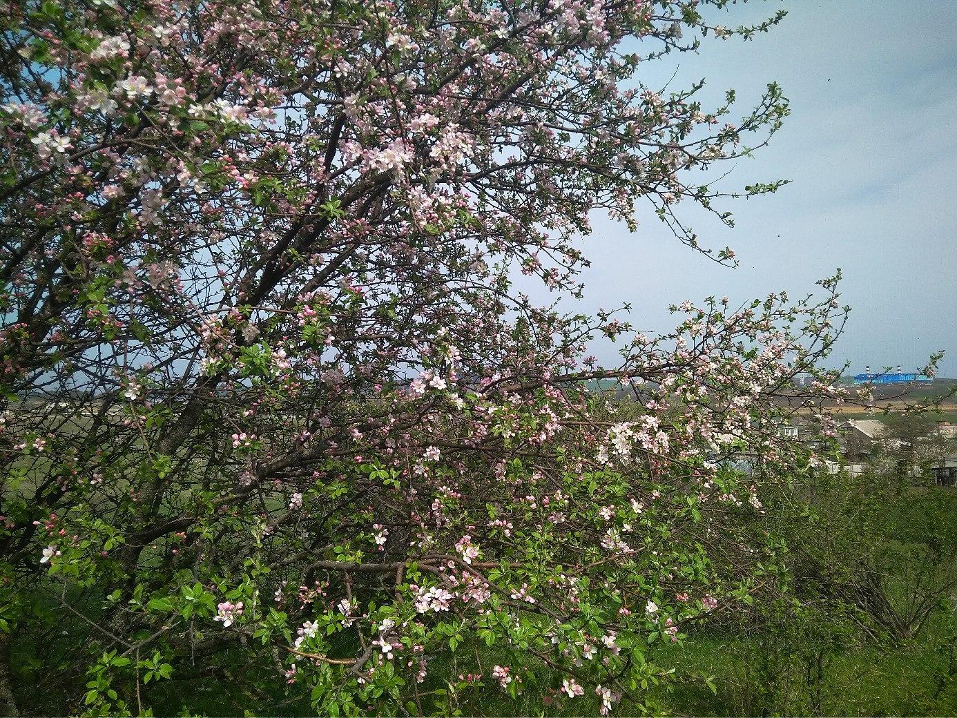 цветет дикая яблоня, Долина Малого Салгира к югу от Симферополя, Крым