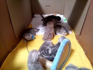 14 февраля котята шотландские