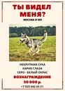 7 ноября 2016 года в г. Черноголовка пропала кареглазая любимица породы сибирский хаски.…