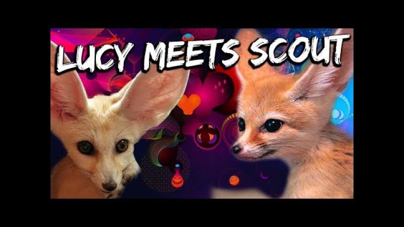 Scout Meets Lucy The Fennec Fox - LIVE (PT 1)