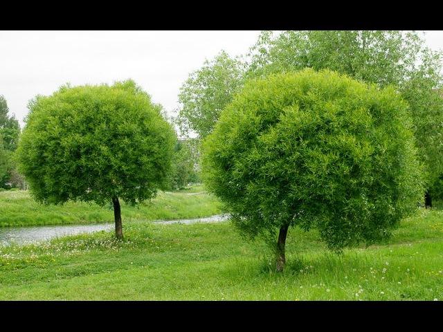 Ива ломкая, Salix fragilis, самостригущаяся, Bullata