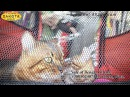 Харьков, выставка кошек, RUI, 21 10 2017, Локомотив, питомник Dakota Gold, часть 4