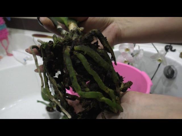 Почему я скупаю белые фаленопсисы ?Обработка от болезней и вредителей! Обзор корней у уценок!