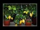 Подкармливаем цитрусовые зимой