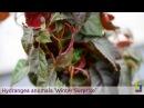 Hydrangea anomala 'Winter Surprise' - Pépinières TRAVERS - Spécialiste des plantes grimpantes