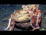 Octopus Tool Use The World's Smartest Invertebrate