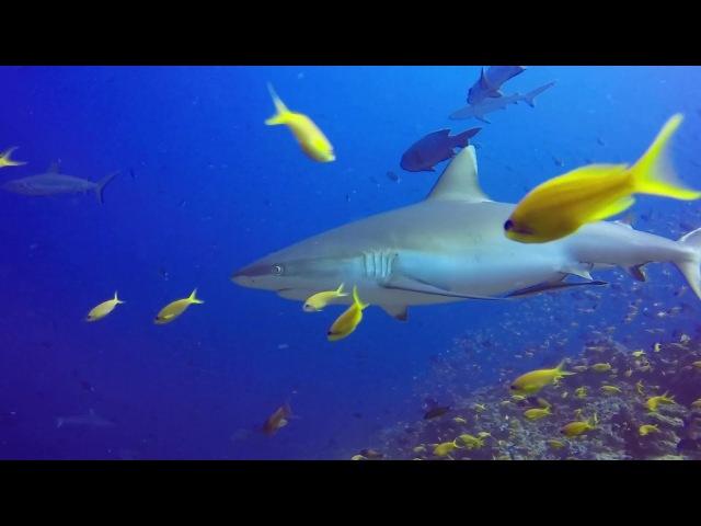 Sharks. Акулы атолла Rasdhoo (Maldives).